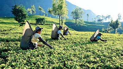 Tea industry could ignite economic resurgence