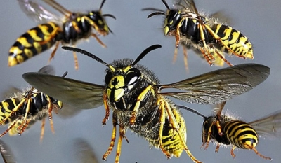 Fifty-one hospitalized in wasp attack at school